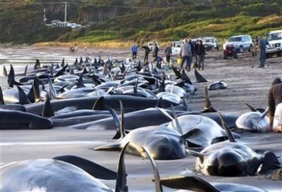 Cá voi mắc cạn ngổn ngang tại Australia