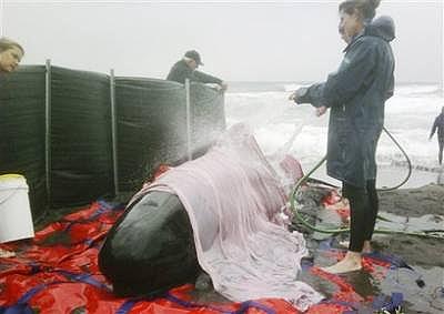 Giải cứu cá voi tại Australia