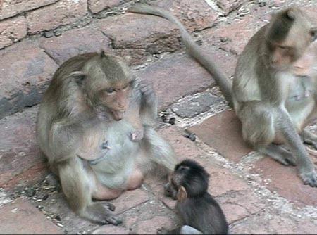 Khỉ biết dạy con đánh răng