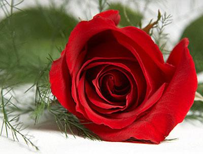 Vũ khí màu đỏ của hoa hồng