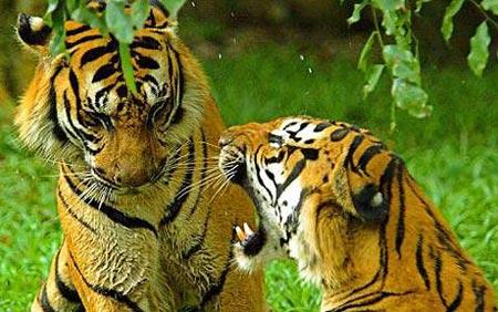Dùng chó truy tìm hổ