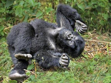 Khi đàn khỉ đột cùng say xỉn