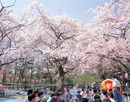 Hoa anh đào Nhật bị đe dọa