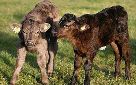 Cặp bê cùng mẹ nhưng khác loài