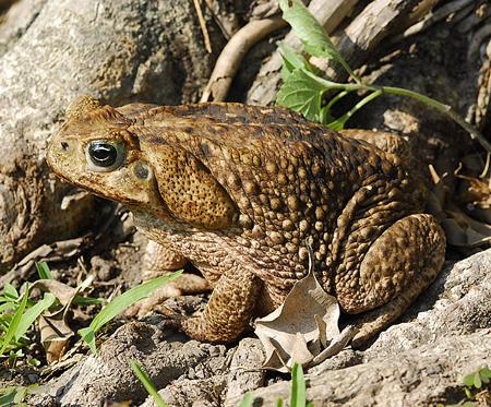 Một bang Australia tuyên chiến với ếch khổng lồ