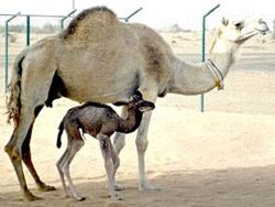 Lạc đà nhân bản đầu tiên trên thế giới chào đời
