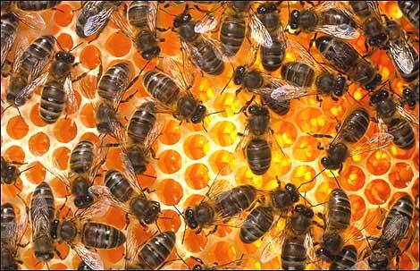 Bài học dân chủ tối ưu ở loài ong