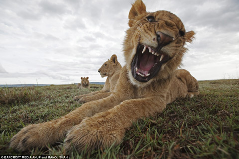Giấu camera dưới phân voi để chụp trộm sư tử