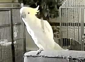 Chim biết khiêu vũ như người