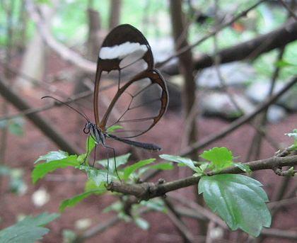 Chùm ảnh: Loài bướm có cánh trong suốt