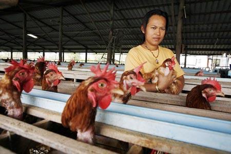 Sản xuất điện từ phân gà