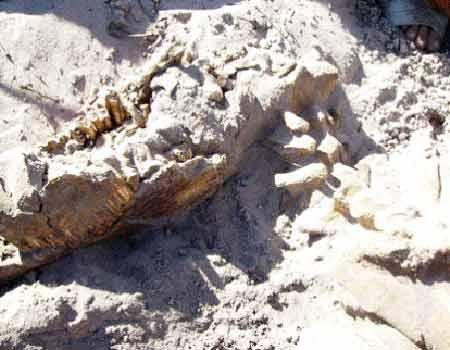 Phát hiện bộ xương giống khủng long ở Bình Thuận