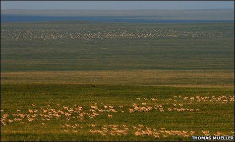 Đàn linh dương khổng lồ ở Mông Cổ