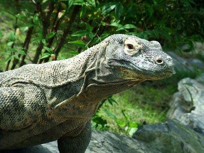 Rồng Komodo dùng nọc độc để giết mồi