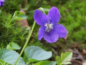Hương hoa Đổng thảo ngăn ung thư tiền liệt tuyến