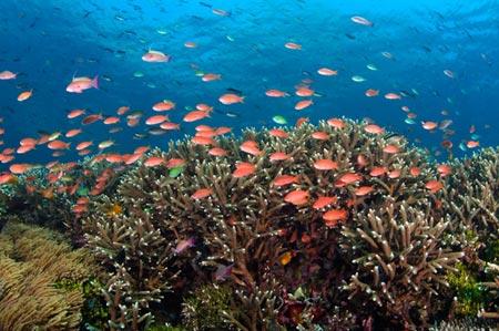 Tam giác san hô có nguy cơ biến mất