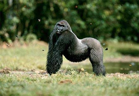 Muôn vẻ khỉ đột trong thiên nhiên