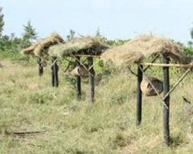 Tổ ong chặn đường voi phá hoại cây trồng