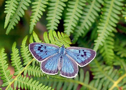 Sự hồi sinh khó tin của loài bướm xanh tại Anh