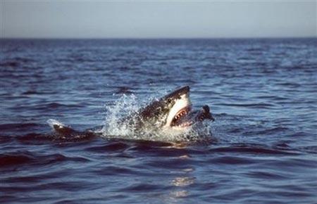 Cá mập trắng đi săn như sát nhân hàng loạt