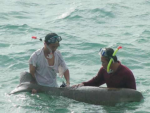 Tìm thấy dấu vết bò biển ở Côn Đảo
