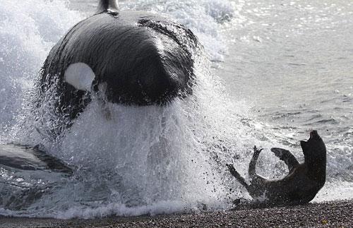 Ngoạn mục cá voi sát thủ săn mồi