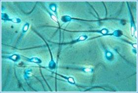 Lần đầu tiên tạo ra tinh trùng nhân tạo