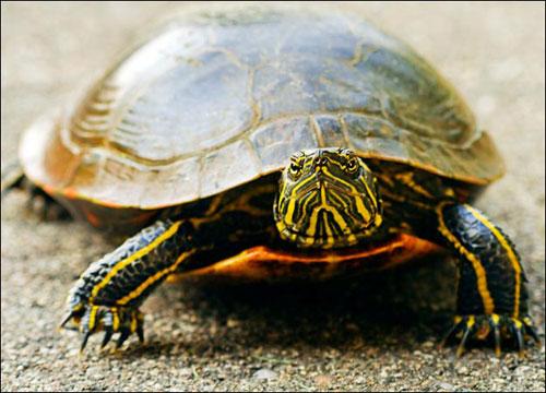 Mai rùa tiến hóa như thế nào?