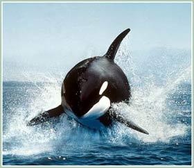 Theo dấu loài cá voi - Bí ẩn sự kiện cá voi mỏ khoằm mắc cạn (Phần I)