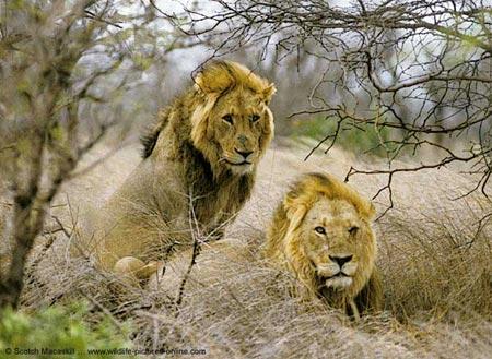 Sư tử có thể tuyệt chủng vì thiếu ăn