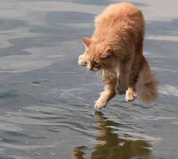 Mèo có chân thuận như người