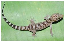 Khám phá loài thằn lằn chân ngón mới ở Việt Nam