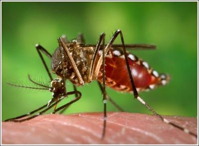 Dùng muỗi tiêu diệt muỗi