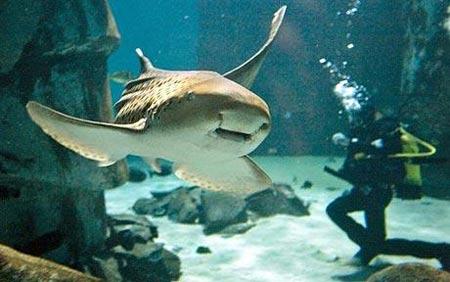 Dụ cá mập yêu đương bằng tình ca