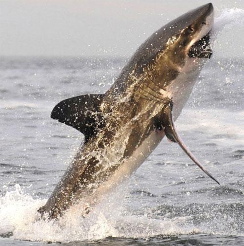 Chùm ảnh cá mập trắng tung mình săn hải cẩu