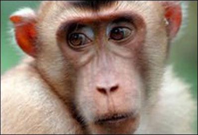 Loài khỉ uống nhiều rượu là do gene