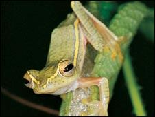 Phát hiện loài ếch biết làm tổ