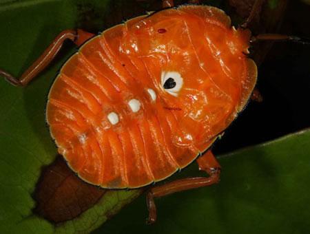 Ấu trùng của một loài bọ khiên lớn.