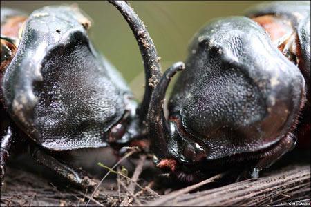 Hai con bọ tê giác đực đọ sức với nhau trên một khúc gỗ.
