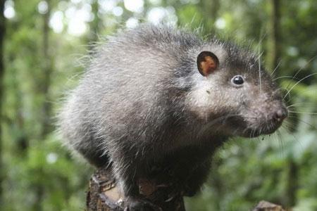Chuột lông mịn khổng lồ không sợ người Bosavi.