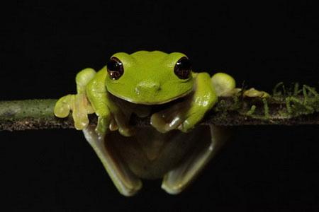Loài ếch có nguy cơ tuyệt chủng Litoria Sauroni.