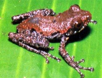 Phát hiện loài ếch cây sần và thằn lằn ngón mới