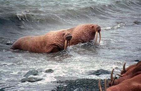 Hải mã tháo chạy vì băng tan ở cực bắc