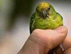Phát hiện loài vẹt chỉ nhỏ bằng ngón tay cái