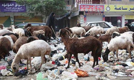 Không còn lợn, Cairo ngập trong rác