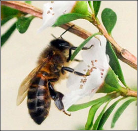 Mật ong manuka có thể khống chế siêu vi trùng MRSA