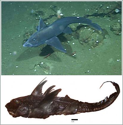 """""""Cá mập ma"""" được phát hiện lần đầu tiên"""