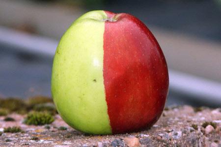 """Phát hiện quả táo """"phù thuỷ"""" với hai màu xanh, đỏ"""