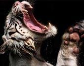 Cơn cuồng ăn của hổ trắng