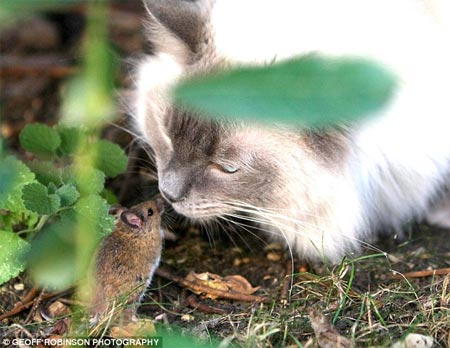 Chuột dọa mèo